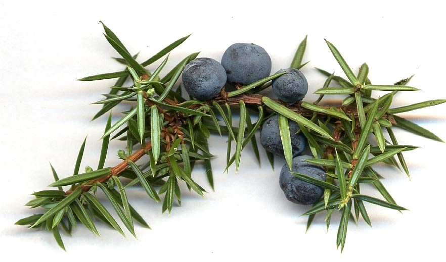 Juniperus_communis_cones.jpg