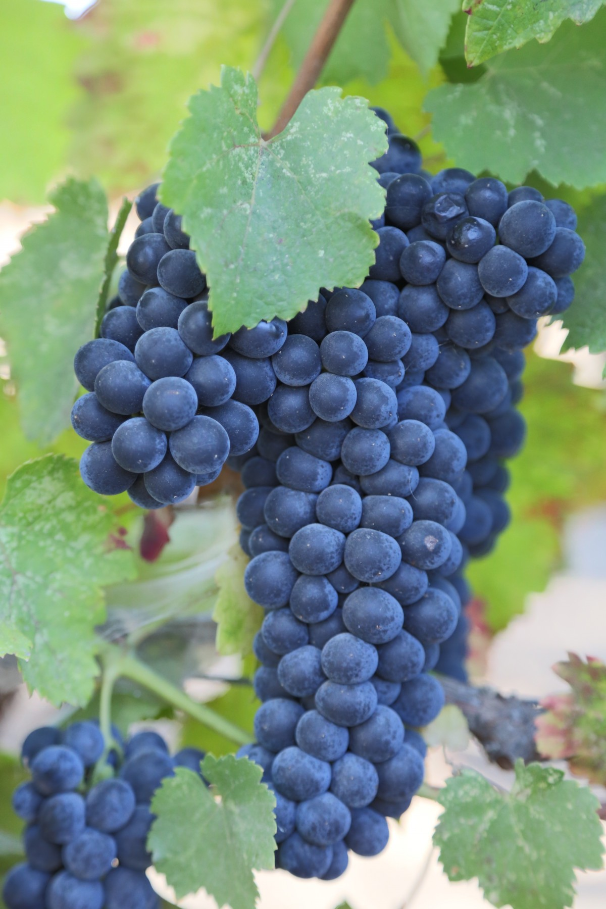 grapes_wine_wine_country_red_winery_franc_malbec_merlot-697666.jpg!d