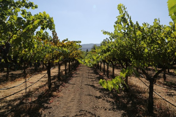 napa_valley_petite_verdot_grapes_wine_wine_country_red_winery_franc-697658.jpg!d