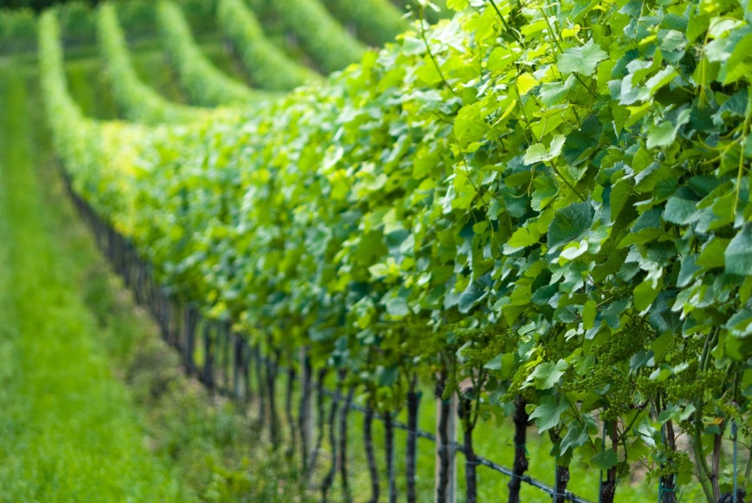 grapevine_nature_vines_grapes_vine_rebstock_italy_cultivation-490626.jpg!d