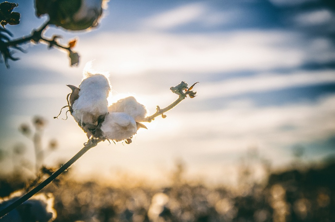 cotton-2807362_1280