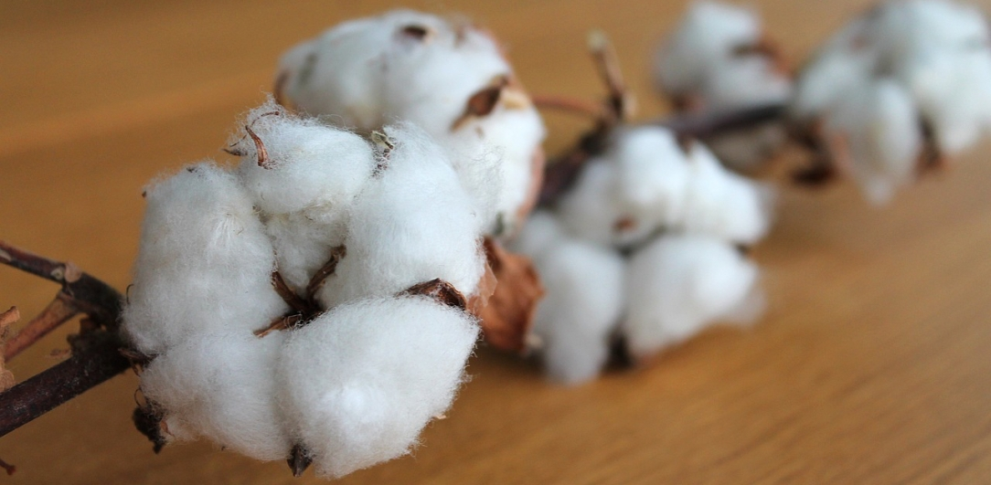 cotton-branch-1271038_1280.jpg