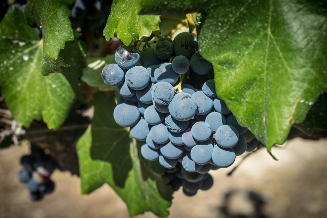 grape-1618305_1280