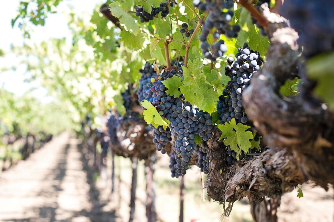 grapes-1952073_1280